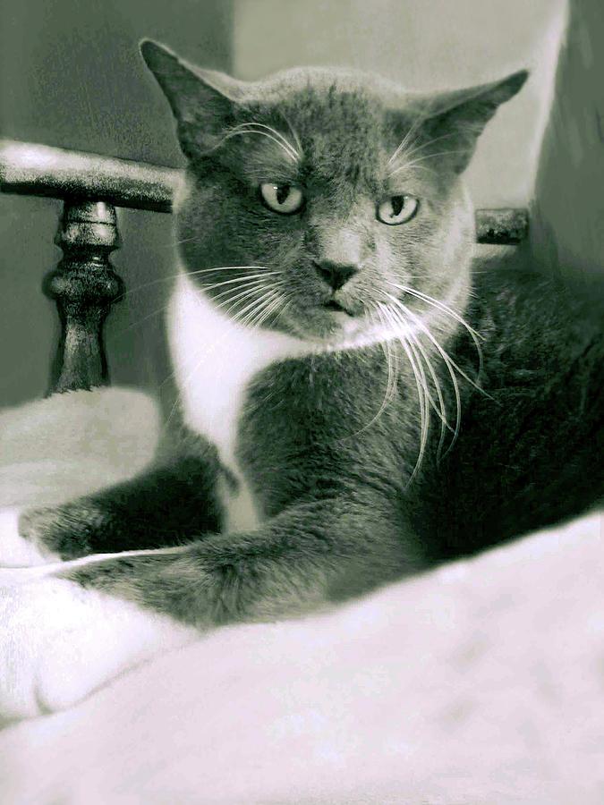 Cat Boticas Portrait 11 by Miss Pet Sitter