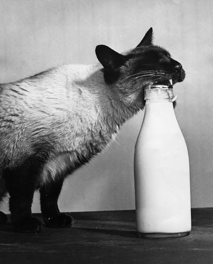 Cat Burglar Photograph by Fox Photos