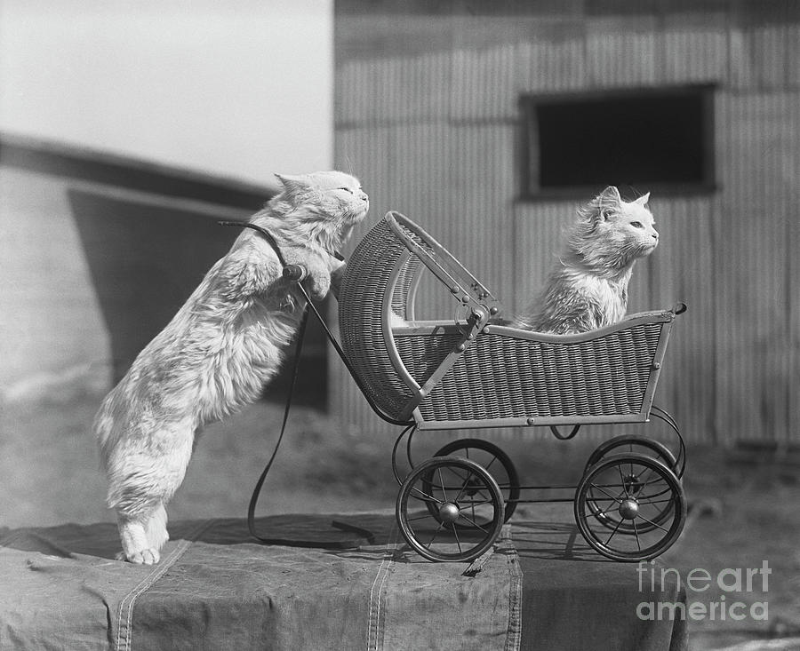 Cat Pushing Cat In Baby Carriage Photograph by Bettmann