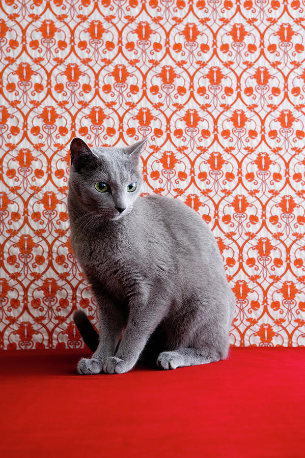 Cat Russian Blue And Wallpaper Photograph by Ultra.f