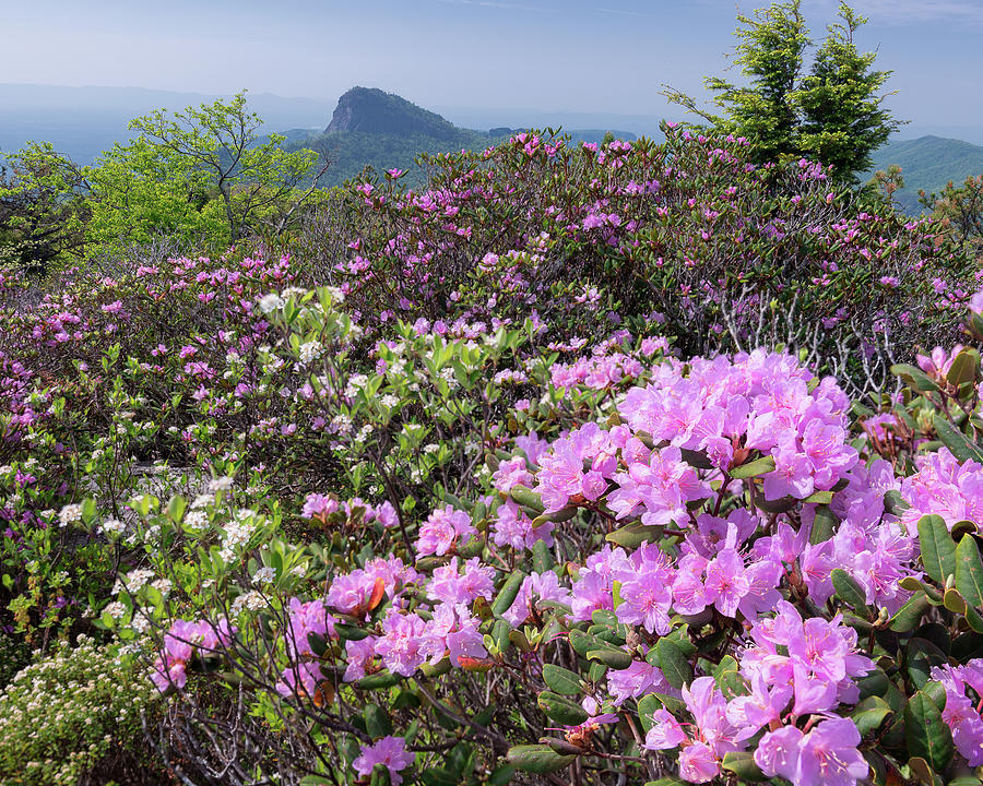 Catawba Rhododendron Table Rock  by Mike Koenig