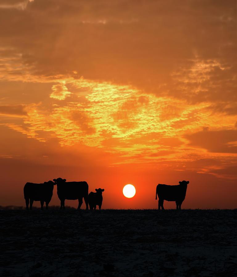 Domestic Animals Photograph - Cattle At Sunset by Jake Olson Studios Blair Nebraska