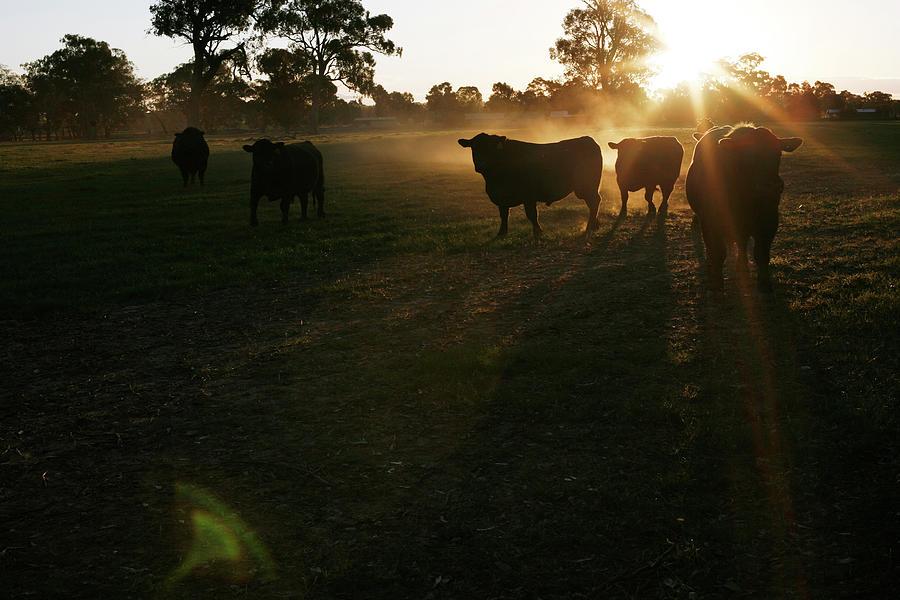 Cattle Photograph by Daniel Boud