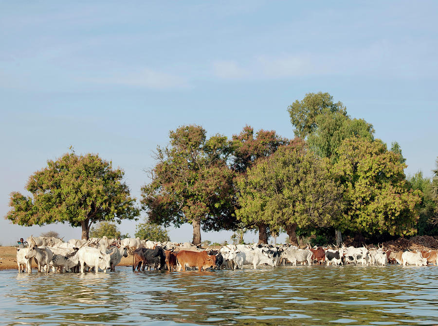 Cattle Drink And Cross The Niger River Photograph by Cultura Exclusive/philip Lee Harvey