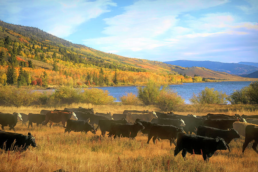 Cattle Drive Photograph - Cattle Drive Round Up 2 by Donna Kennedy