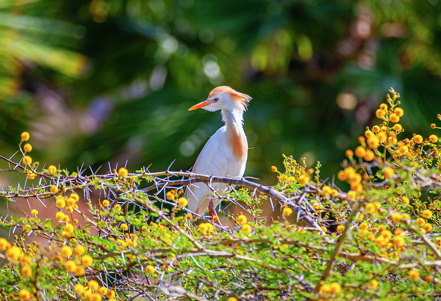 Cattle Egret by Anthony Jones