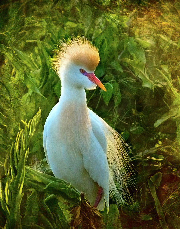 Cattle Egret At Sunset Photograph by Melinda Moore