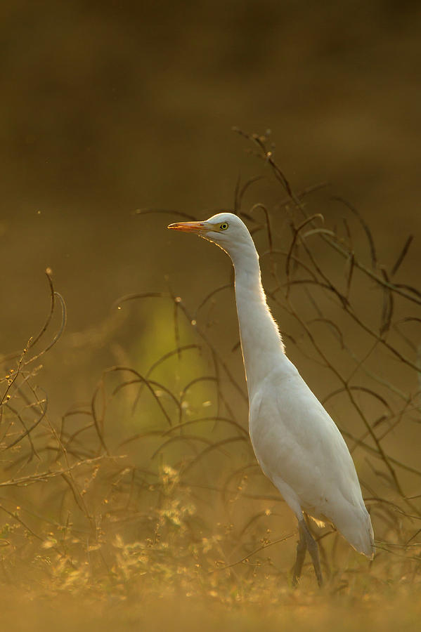 Cattle Egret Bubulcus Ibis Photograph by Andrew Sproule