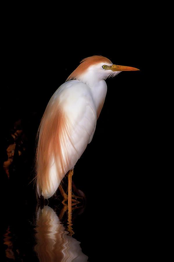 Cattle Egret by Cyndy Doty
