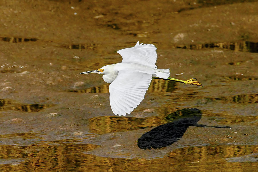 Cattle Egret by Ronnie and Frances Howard