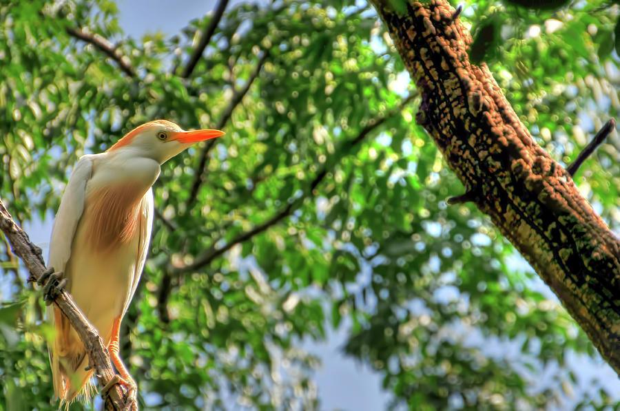 Cattle Egret Photograph by Ronnie Wiggin