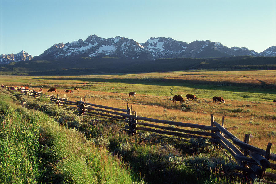 Cattle Graze Under The Sawtooth Mtns Photograph by Simon Russell