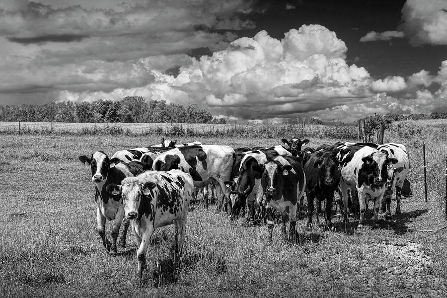 Cattle in a Pasture in Black and White by Randall Nyhof
