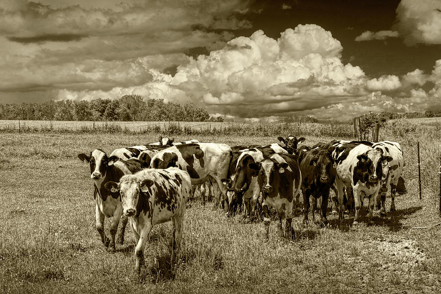 Cattle in a Pasture in Sepia Tone by Randall Nyhof
