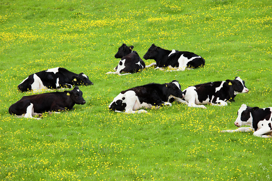 Cattle In Buttercup Meadow In The Photograph by Tim Graham