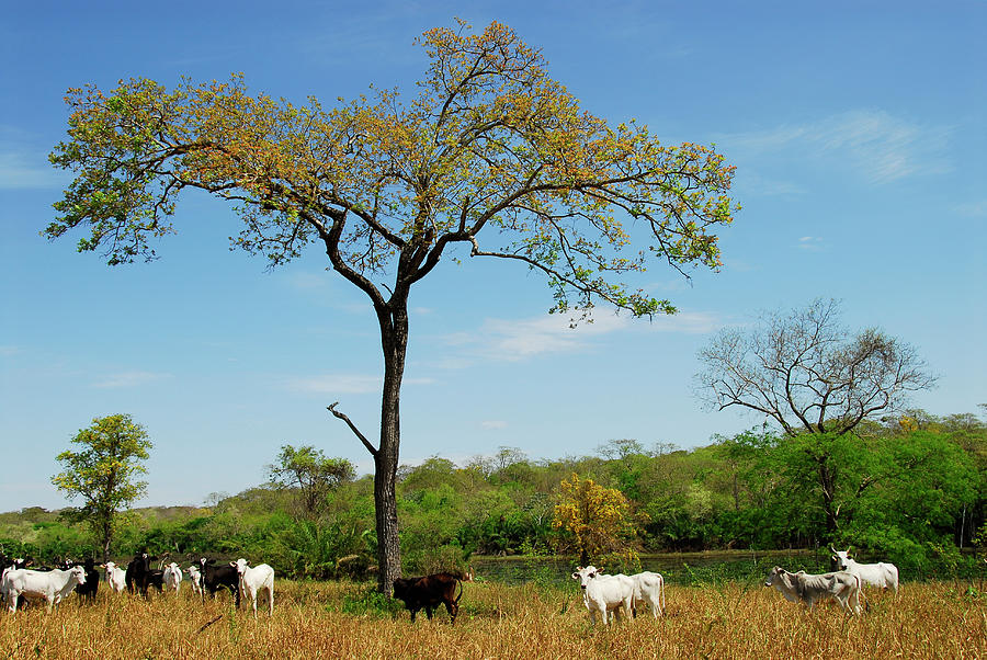 Cattle In Pantanal Photograph by Lucille Kanzawa