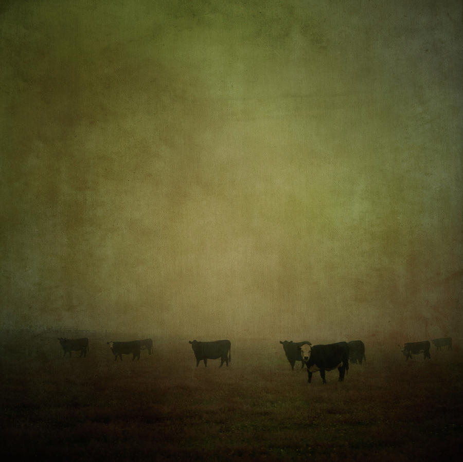 Cattle In The Mist Photograph by Jill Ferry