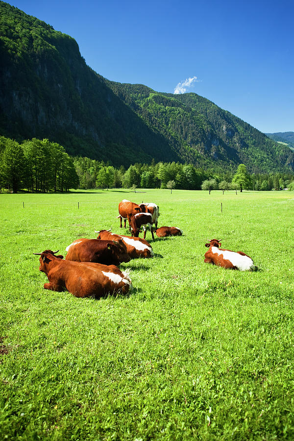 Cattle On Farm Field Photograph by Mbbirdy