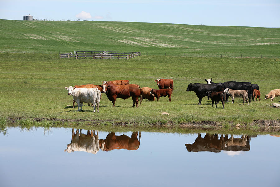 Cattle On The Ranch Reflection Photograph by Constantgardener