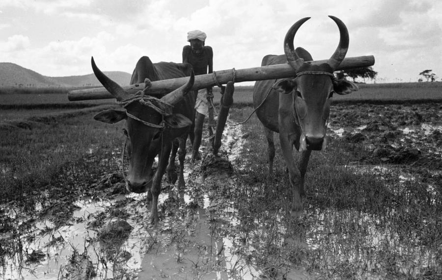 Cattle Plough Photograph by Bert Hardy