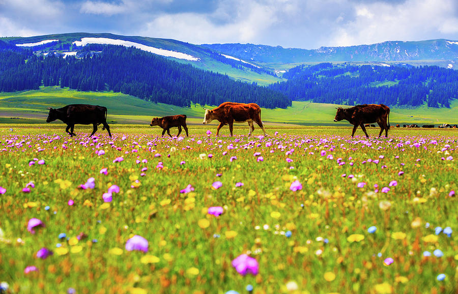 Cattle Walking In Grassland Photograph by Feng Wei Photography