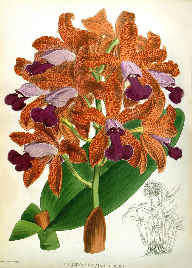 Cattleya Guttata Leopoldii Lindenia Orchid  by Jean Jules Linden