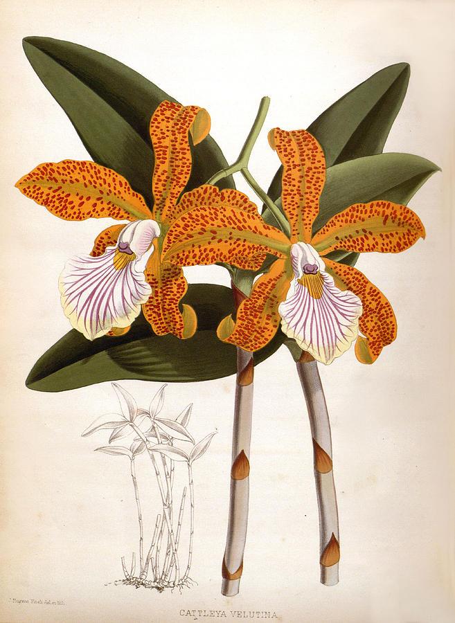 Cattleya Velutina Vintage Lindenia Orchid by Jean Jules Linden