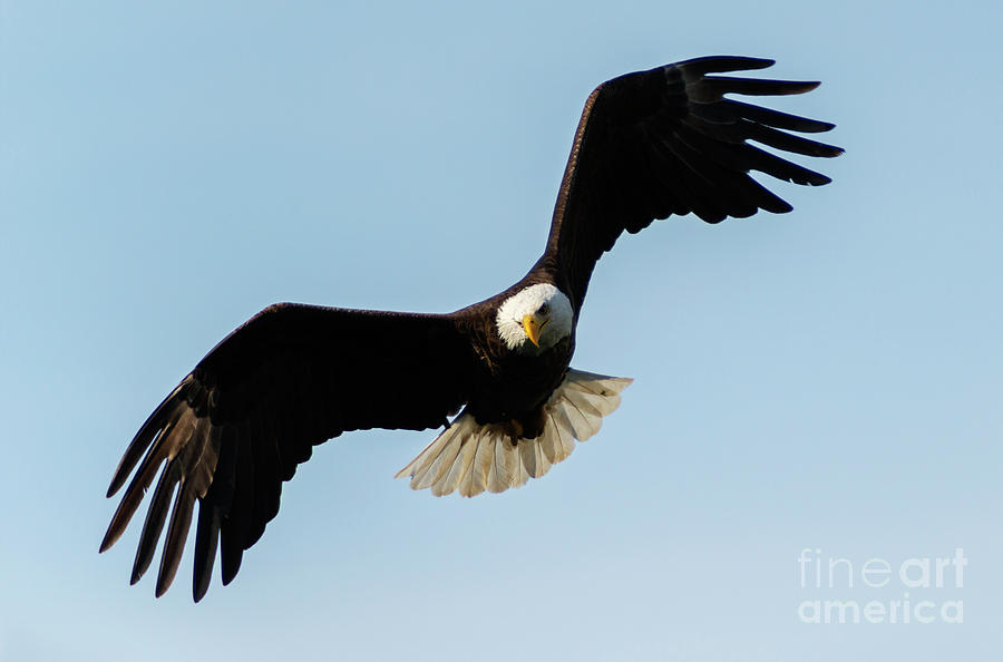 Eagle Photograph - Caught His Eye by Mike Dawson