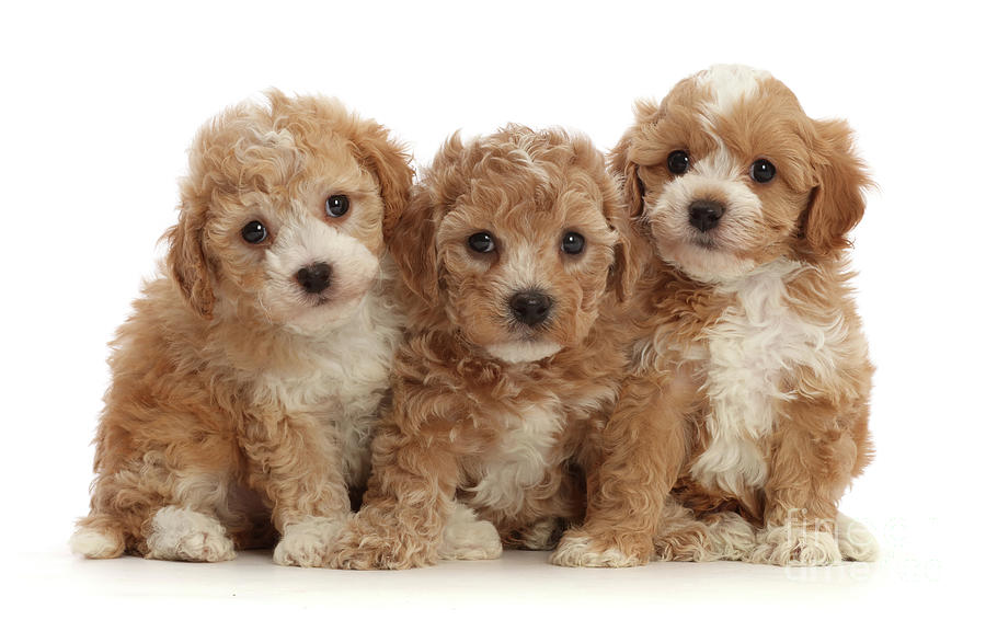 Cavapoochon puppy trio by Warren Photographic