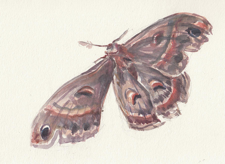 Cecropia Moth by Abby McBride