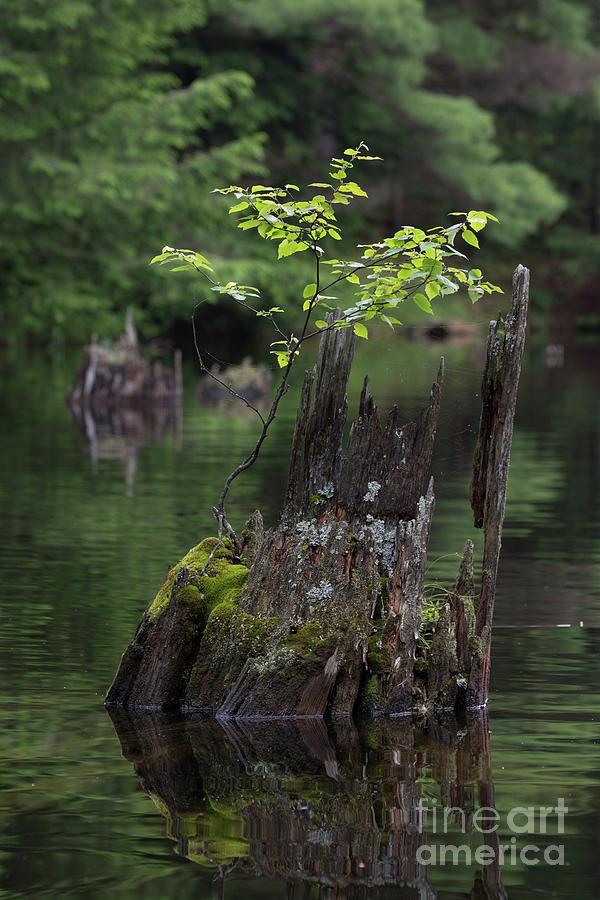 Water Photograph - Cedar Stump With Greenery by John Rowley