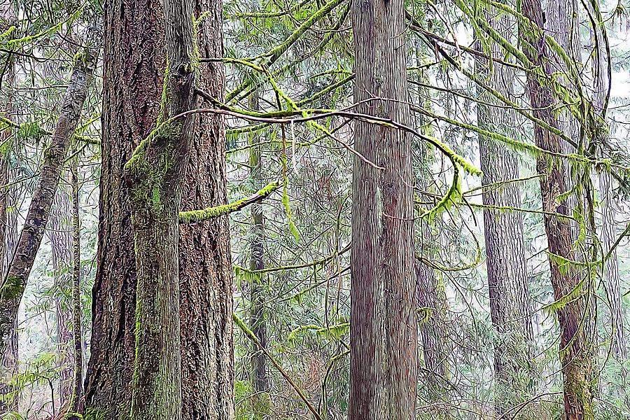 Cedar Trees with Moss by Douglas J Fisher
