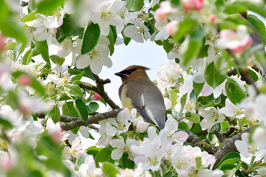 Cedar Waxwing and Apple Blossoms 3421 by Michael Peychich