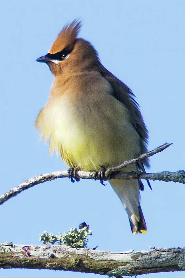 Cedar Waxwing by Bob Decker