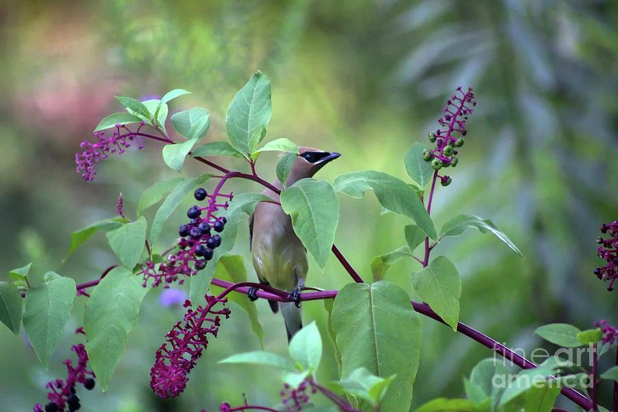 Cedar Waxwing in Pokeberry by Karen Adams