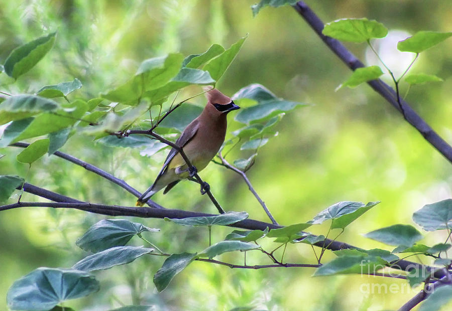 Cedar Waxwing in Redbud tree by Karen Adams