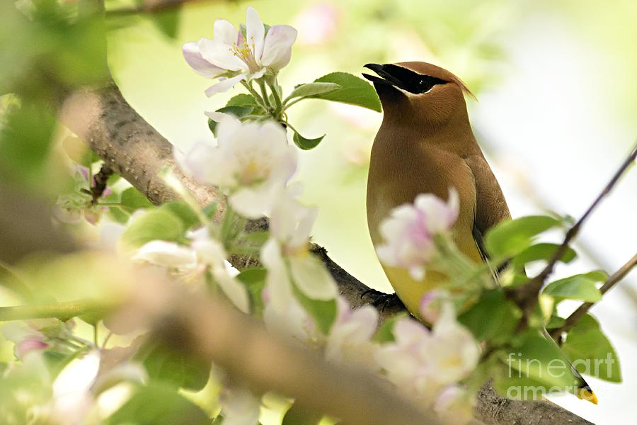 Cedar Waxwing by Larry Ricker