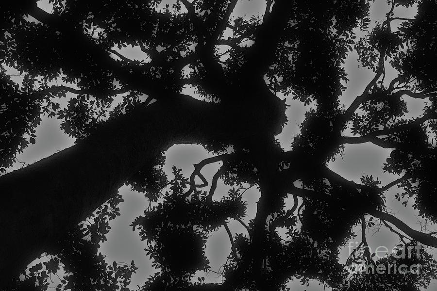 Ceiba Silhouetted Photograph