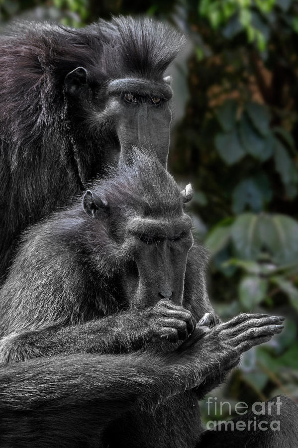 Celebes Crested Macaque by Arterra Picture Library