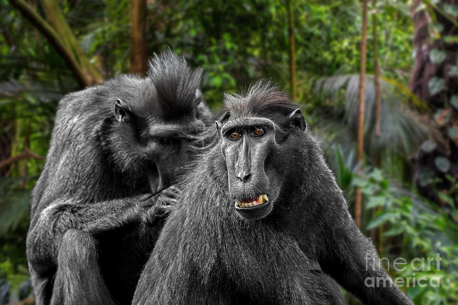 Celebes crested Macaques Grooming by Arterra Picture Library