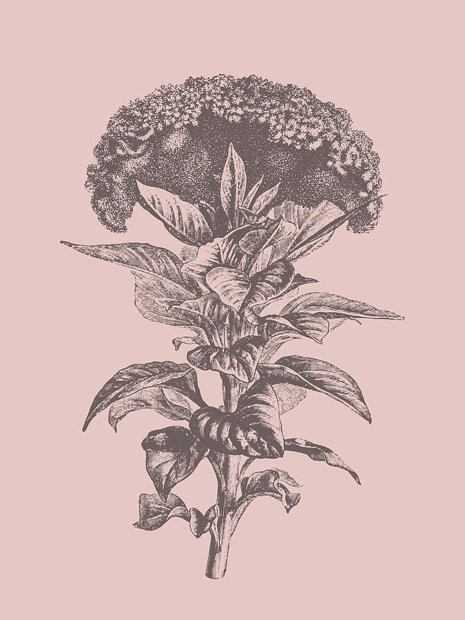 Celosia Mixed Media - Celosia Blush Pink Flower by Naxart Studio