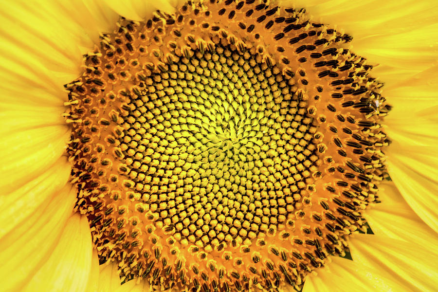 Center of a Sunflower by Don Johnson