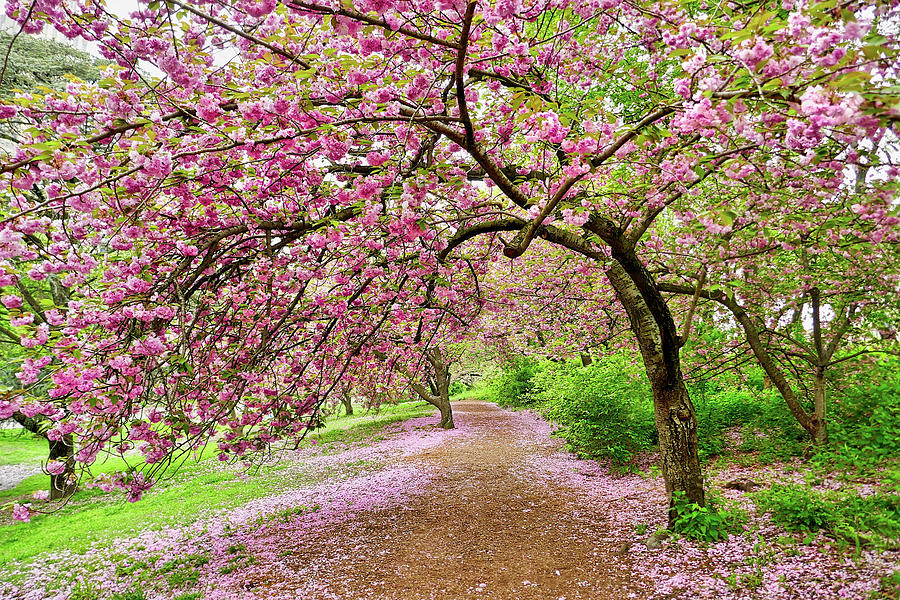 Central Park Cherry blossoms by Joan Reese