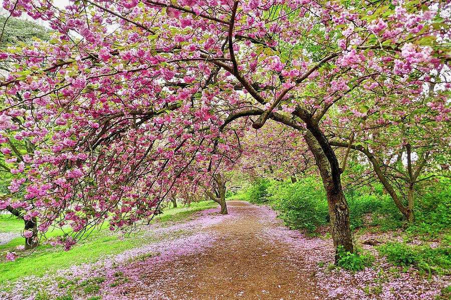 Central Park Cherry Blossoms Photograph