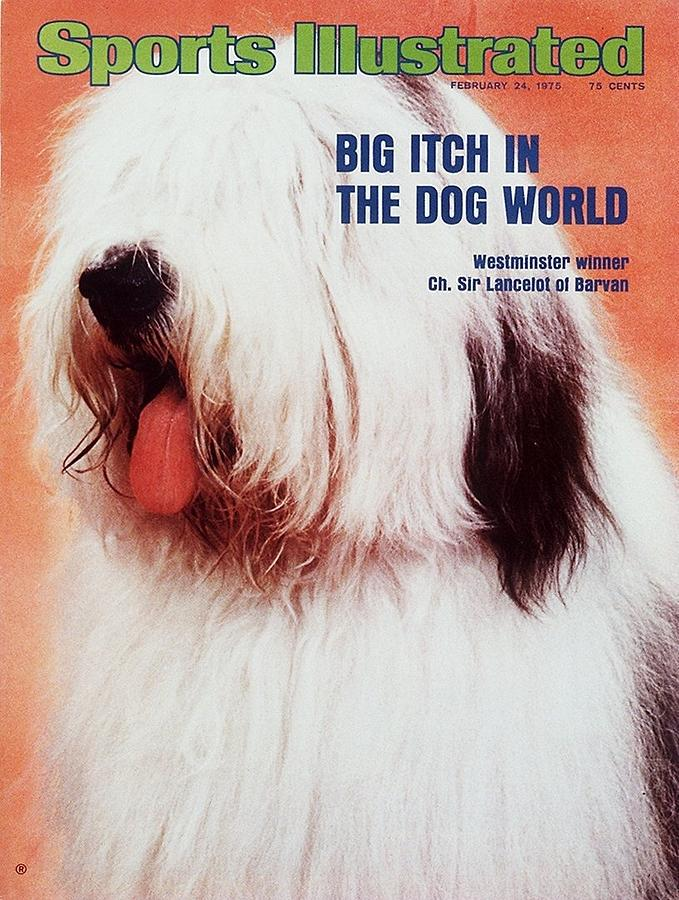 Ch. Sir Lancelot Of Barvan, 1975 Westminster Kennel Club Sports Illustrated Cover Photograph by Sports Illustrated