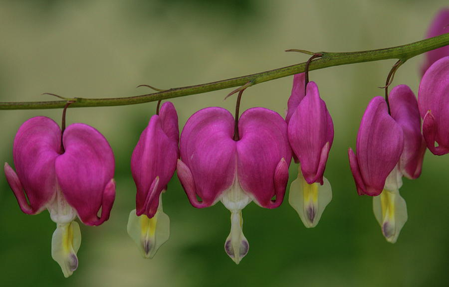 Chain Of Bleeding Hearts by Dale Kauzlaric