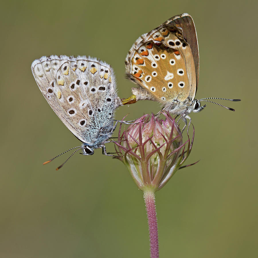 Chalkhill Blue Photograph by Anne Sorbes