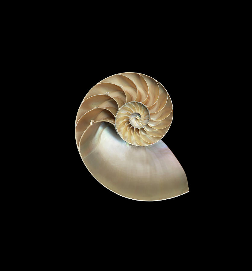 Chambered Nautilus Nautilus Sp., Cross Photograph by Mike Hill