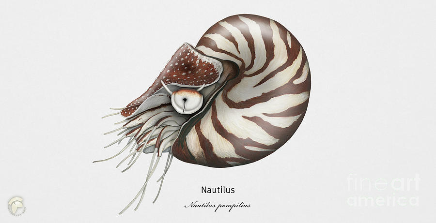 Chambered Nautilus - Nautilus pompilius - Gemeines Perlboot - FineArt Print - Stock Illustration by Urft Valley Art