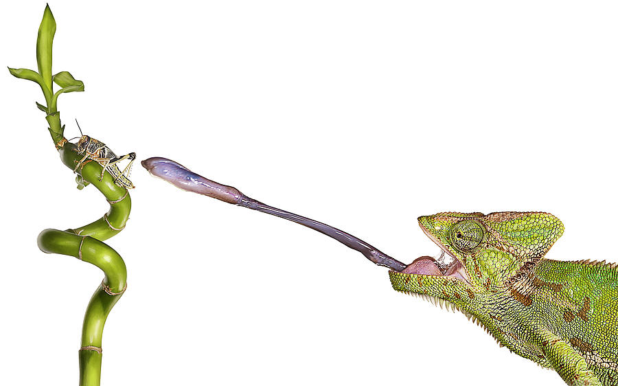 Chameleon Sticking Out Tongue To Catch Photograph by Gandee Vasan